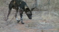 Close up of wild dogs Stock Footage