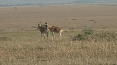 Hertebeests mating Stock Footage