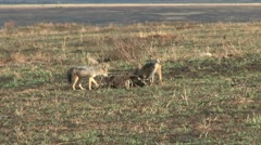 Jackals eating an old kill Stock Footage