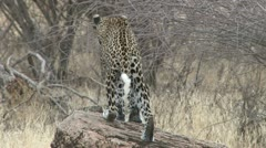 Leopard goes hunting Stock Footage