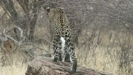 Stock Video Footage of leopard goes hunting