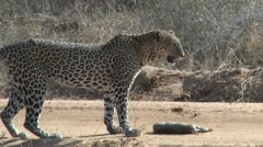 Leopard guards his kill on a road Stock Footage