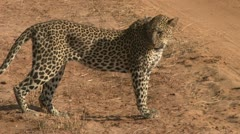 Leopard picks his kill on a road to hide Stock Footage