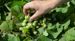 Hand gather ripe hazel nuts Stock Footage