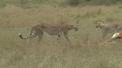 mother and baby cheetah feeding on an impala - stock footage