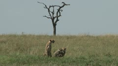 Mother cheetah and babies in the plains 1 Stock Footage