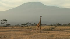 One giraffe under the mount kilimanjaro Stock Footage