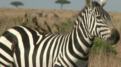 Oxpeckers on the back of a zebra Stock Footage