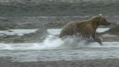 BROWN BEAR CHASES FISH. Stock Footage