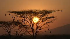 Setting sun through an acacia with nests Stock Footage
