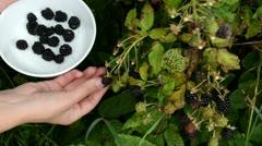 Female hand pick gather ripe blackberry rubus plant bush dish Stock Footage