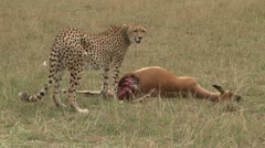 Zoom in of a dead pregnant impala killed by a cheetah Stock Footage
