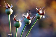 buds of roses - stock photo