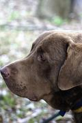 Stock Photo of chesapeake bay retriever