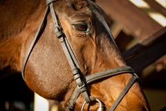 brown horse head - stock photo