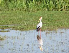 Waterside scenery with yellow-billed stork Stock Photos