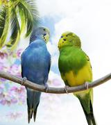budgerigar parrots - stock photo