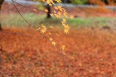 Stock Photo of Autumn leaves in Japan