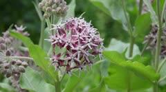 Milkweed (Asclepias speciosa) Stock Footage