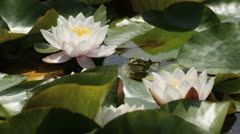 Water lily (Nymphaea) and edible frog (Rana esculenta) Stock Footage