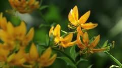 Lily (Lilium hansonii) Stock Footage