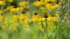 Stock Video Footage of Yellow cone flower (Echinacea paradoxa)