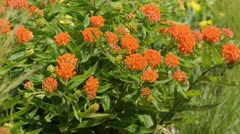 Butterfly milkweed (Asclepias tuberosa) Stock Footage