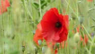 Stock Video Footage of Corn poppy (Papaver rhoeas) and bee (Apis)