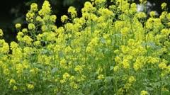 White mustard (Sinapis alba) Stock Footage
