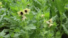 Black henbane (Hyoscyamus niger) and bumble bee (Bombus) Stock Footage