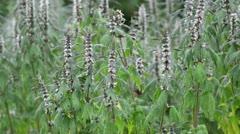 Motherwort (Leonurus cardiaca) Stock Footage