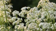Stock Video Footage of Common valerian (Valeriana officinalis)