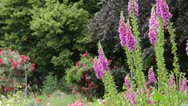 Stock Video Footage of Common foxglove (Digitalis purpurea)