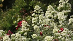 White valerian (Centranthus ruber 'Albus') and roses (Rosa) Stock Footage