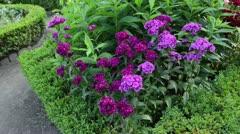 Sweet william (Dianthus barbatus) Stock Footage
