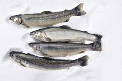 Fresh trout and char - stock photo