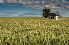 Abandoned farmhouse surrounded by wheat Stock Photos