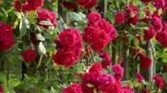 Sweet briar (Rosa rubiginosa 'Flammentanz') - stock footage