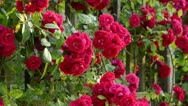 Stock Video Footage of Sweet briar (Rosa rubiginosa 'Flammentanz')
