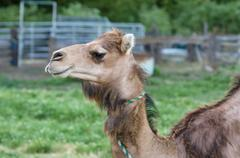 Camel in a green pasture Stock Photos