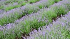 Common lavender (Lavandula angustifolia) Stock Footage