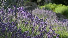 Common lavender (Lavandula angustifolia) Stock Footage