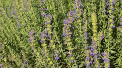 Hyssop (Hyssopus officinalis) and bumble bee (Bombus) Stock Footage