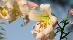 Madonna lily (Lilium candidum) Stock Footage