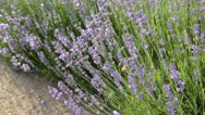 Stock Video Footage of Common lavender (Lavandula angustifolia) and bees (Apis)