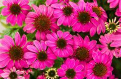 purple echinacea flowers - stock photo