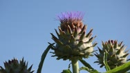 Stock Video Footage of Artichoke (Cynara cardunculus syn. Cynara scolymus)