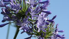 African lily (Agapanthus africanus) Stock Footage