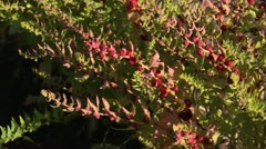 Chenopodium foliosum Stock Footage