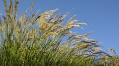 Feather grass (Stipa calamagrostis syn. Achnatherum calamagrostis) Stock Footage
